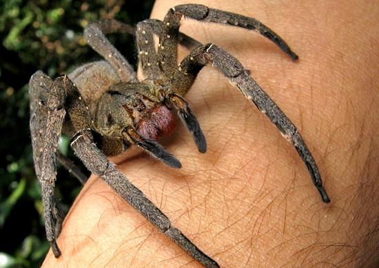 Gel à base de venin d'araignée? Une alternative naturelle et saine au Viagra?